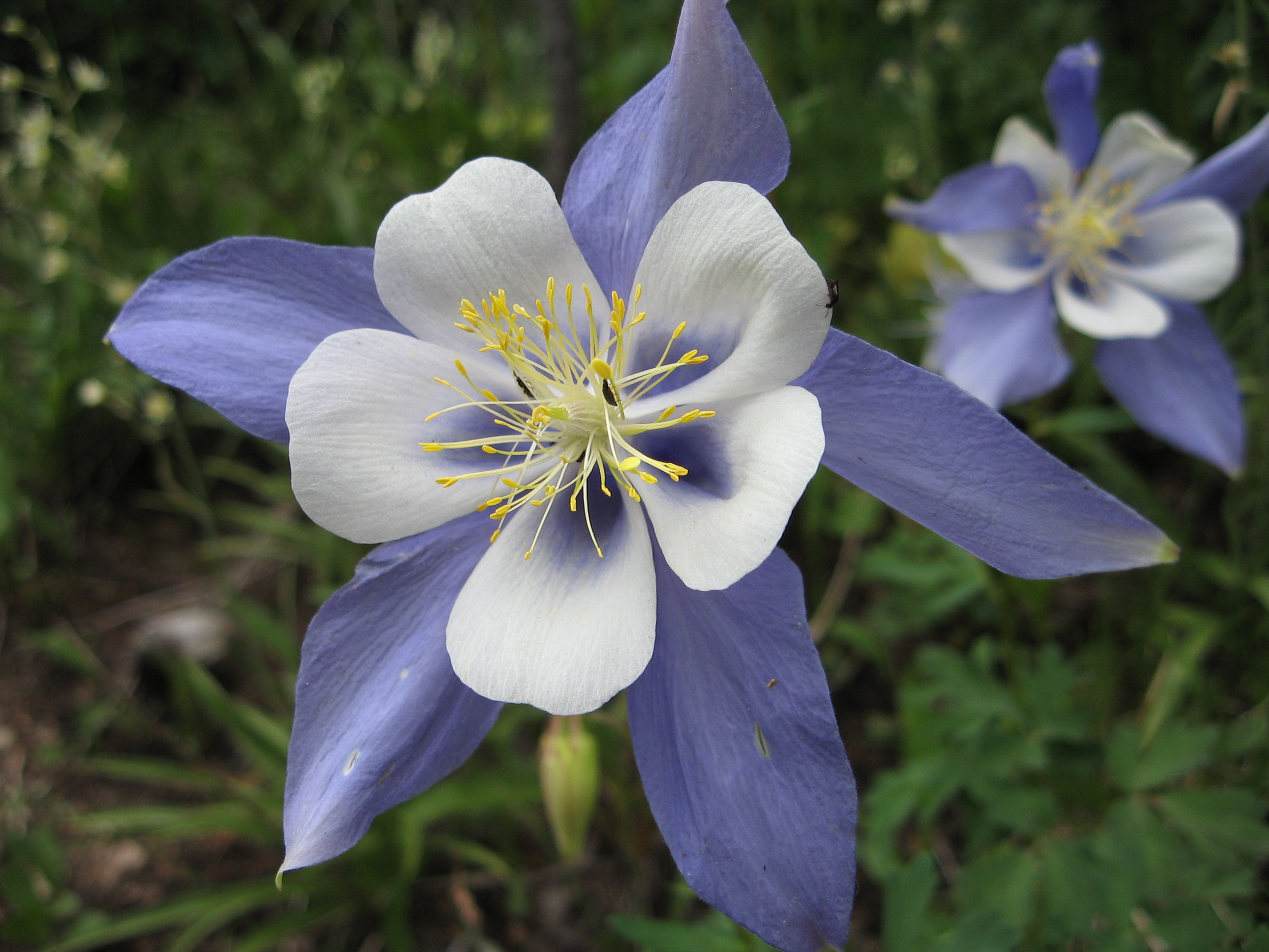 The land where the columbines grow colorado legisource aquilegiacaerulea izmirmasajfo