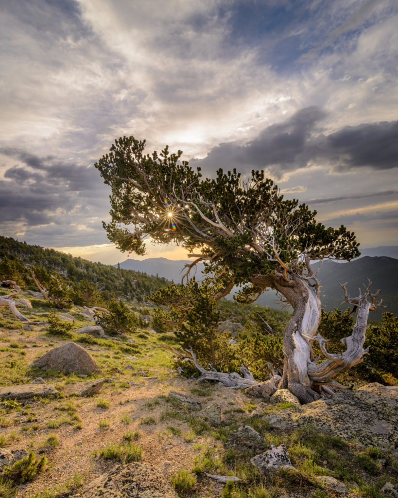 "Bristlecone pine in the Mt. Goliath grove on Mt. Evans//""The Ancient One"" by Jao van de Lagemaat"