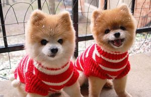 two-pomeranians